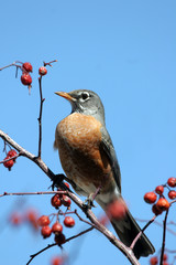 American Robin amid red berries against a blue sky