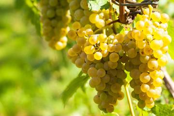 White, yellow grapes in vineyard