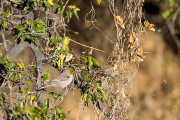 Verdin in a southern Arizona tree in Autumn