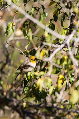 Verdin in a southern Arizona tree in Autumn