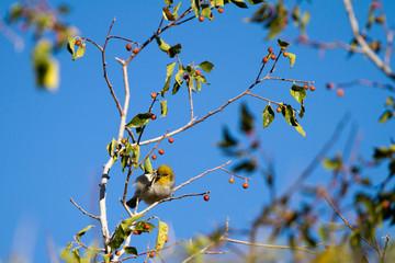 Tiny Verdin in a southern Arizona tree in autumn