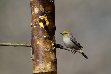 Tiny and bright Verdin on a rustic feeder in southern Arizona
