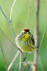 Palm Warbler in an Illinois woodland during spring migration