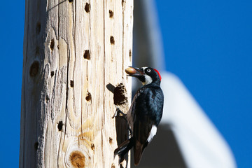 Male Acorn Woodpecker is about to store an acorn in a utility pole