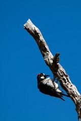 Male Acorn Woodpecker on a tree snag in southern Arizona
