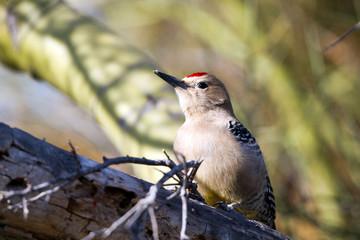 Male Gila Woodpecker and a Palo Verde tree in Arizona's Sonoran Desert
