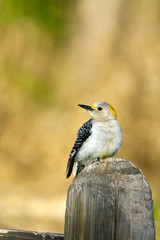 Female Golden-fronted Woodpecker on a fence post in Palo Duro Canyon State Park