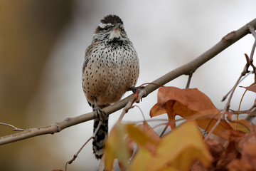 Cactus Wren on a branch in late autumn in southern Arizona