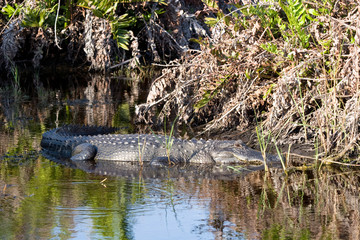 American Alligator relaxes in Ding Darling National Wildlife Refuge