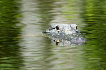 American Alligator in beautiful water in Everglades National Park