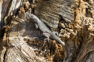 Lizard on a dead tree in Mojave National Preserve