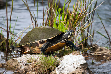 Florida Red-bellied Turtle in shallow water in Everglades National Park