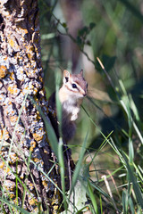 Least Chipmunk peers around a tree in New Mexico's Sangre de Cristo Mountains