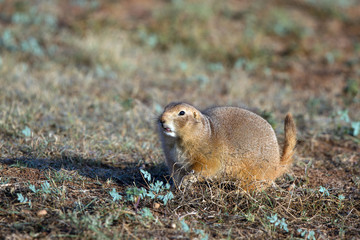 Black-tailed Prairie Dog in the Texas Panhandle