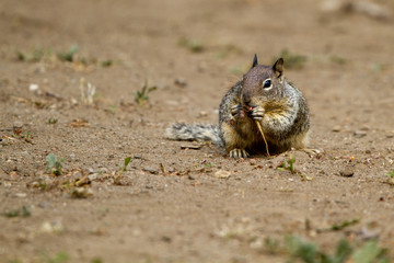 California Ground Squirrel eats a root he pulled up from the desert floor