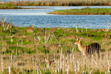 Two White-tailed Deer in a marsh beside a river
