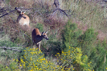 Young White-tailed Deer and his mother in Quivira National Wildlife Refuge