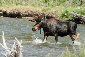 A large bull Moose splashes in the Gros Ventre River inside Grand Teton National Park