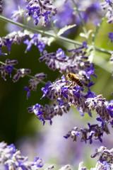 Honeybee in purple flowers of a Russian Sage in Santa Fe, New Mexico