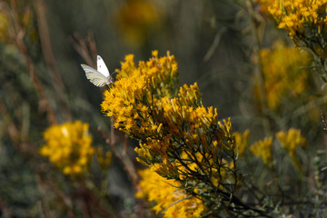 Cabbage White butterfly on flowering Chamisa