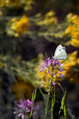 Cabbage White butterfly on Rocky Mountain Bee Plant