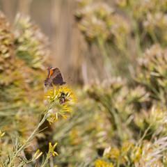 Milbert's Tortoiseshell nectars on Chamisa flowers in autumn in Utah