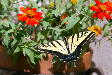 Western Tiger Swallowtail butterfly in a pot of native zinnias