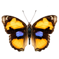 Exotic Yellow Pansy butterfly isolated on white background upper