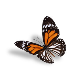 Beautiful flying orange butterfly, white tiger butterfly ( Danau