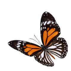Beautiful flying white tiger butterfly (Danaus melanippus) the r