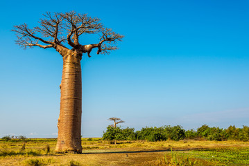 Photo sur Plexiglas Baobab Baobab trees near Morondava