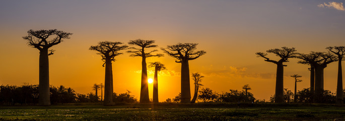 Photo sur Plexiglas Baobab Panorama view at sunset above Baobab avenue
