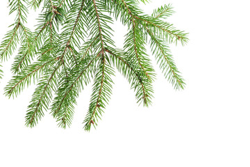 green fir branch isolated on white