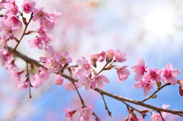 Wall Mural - spring sakura flower on sunny sky toned