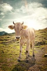 Young Alpine Cow Standing in Mountain Pasture