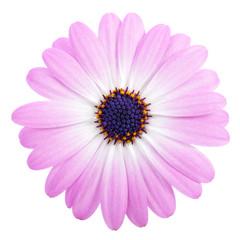 Obraz Pink Daisy on a white background - fototapety do salonu