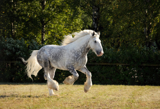 Shire Draft Horse stallion galloping in fields