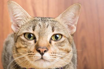 Asia cat breed