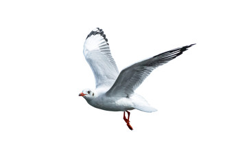 A free flying birds on white background; seagull