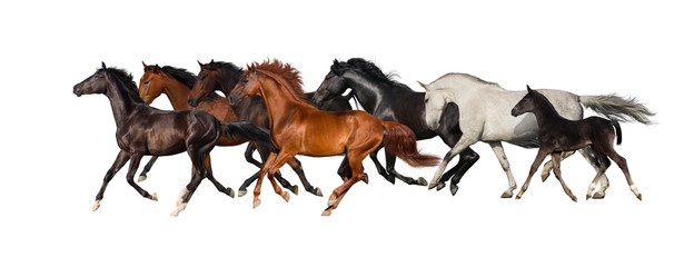Horse herd isolated on white