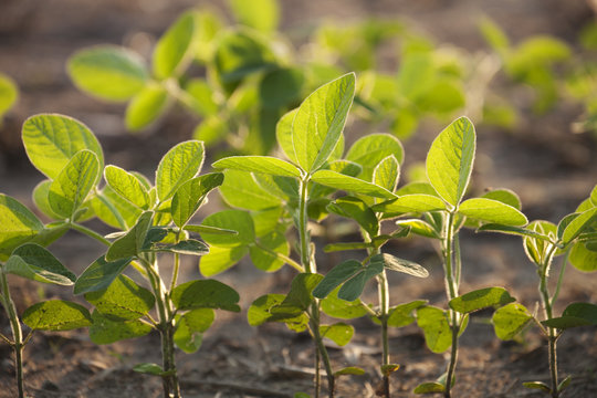 Young soybean plants with defocused background