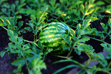 Young small watermelon. Thumbnail with limited depth of field. Evening photo.