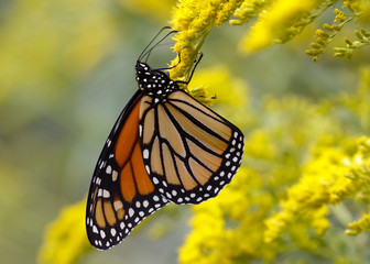 A Monarch Butterfly (Danais plexippus) fuels up on nectar from a Canada Goldenrod in September to prepare for its southward migration to Mexico - Grand Bend, Ontario, Canada