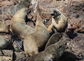 African Fur Seals Fighting
