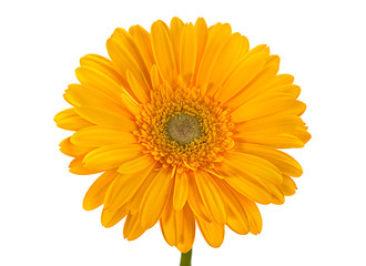 Yellow gerbera flower on white
