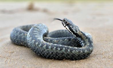 The common European adder or common European viper