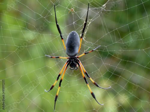 """Bien connu bib, araignée de la réunion"""" photo libre de droits sur la banque d  XM42"""