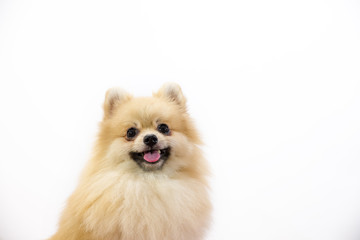 Cute pomeranian puppy in hand at studio on a white background.