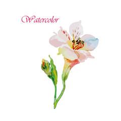Watercolor flowers alstroemeria. Vector illustration