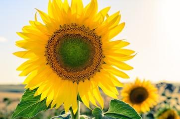 Sun flowers field in Spain